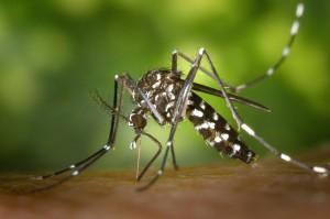 Zanzara tigre_ISI Trap