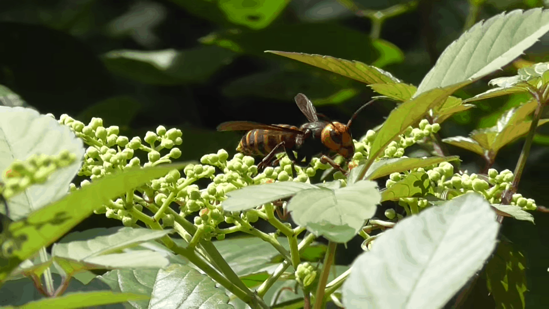 Asian_giant_hornet_(Vespa_mandarinia)