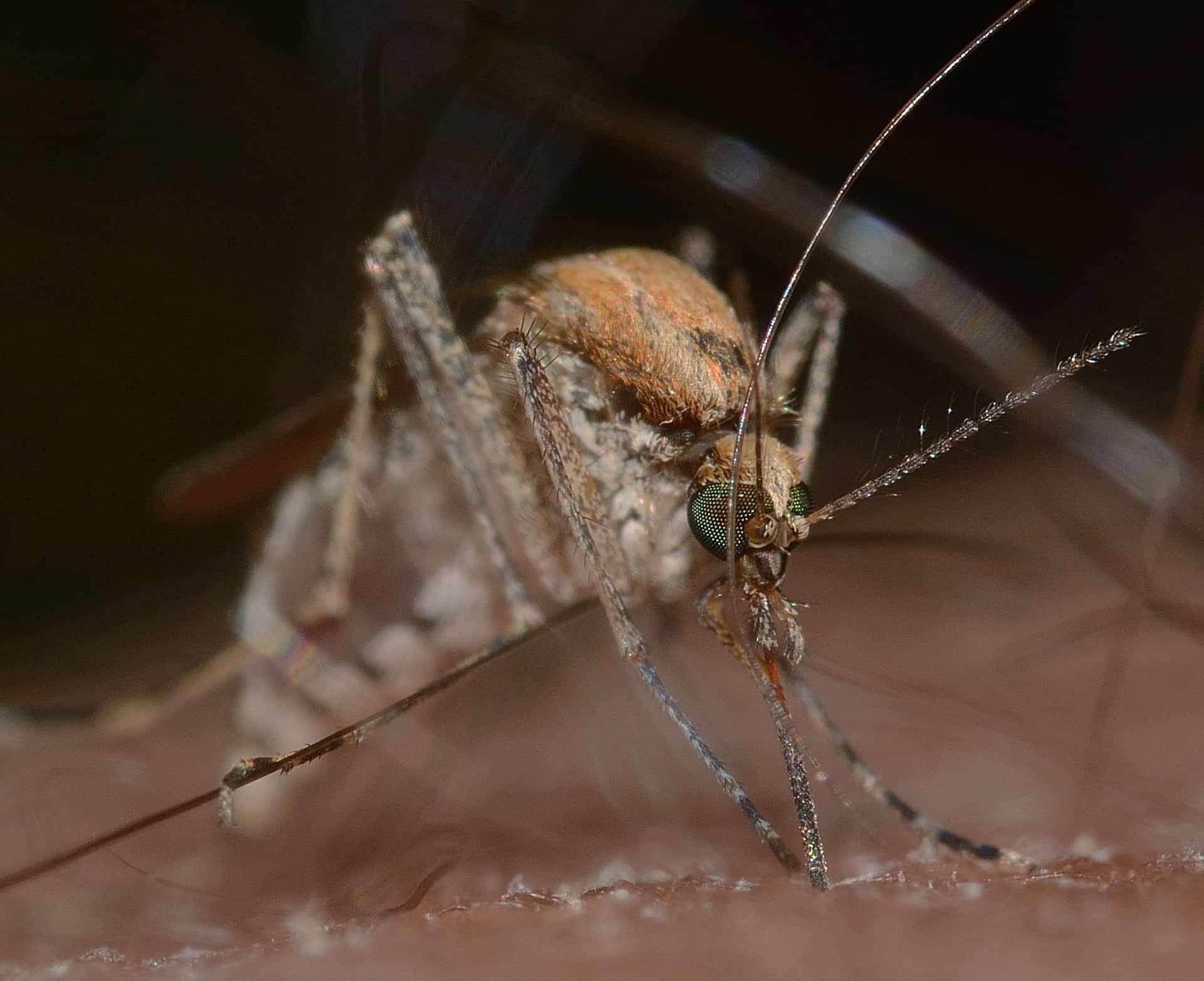 Zanzara_Febbre del Nilo Occidenatale